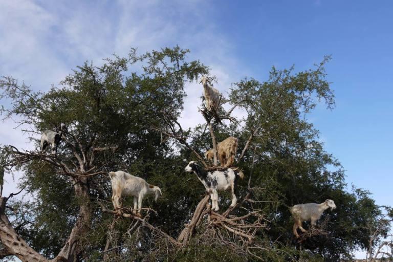 MarokkoZiegen-auf-dem-Baum
